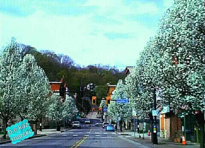 Pear trees in bloom.