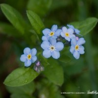 First Forget-me-nots