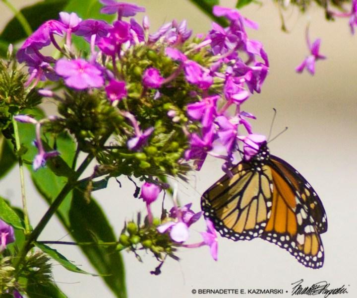 Monarch hanging on phlox flowers.