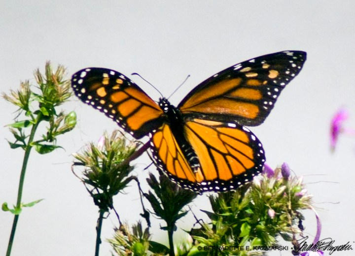 Female monarch beginning to take off.