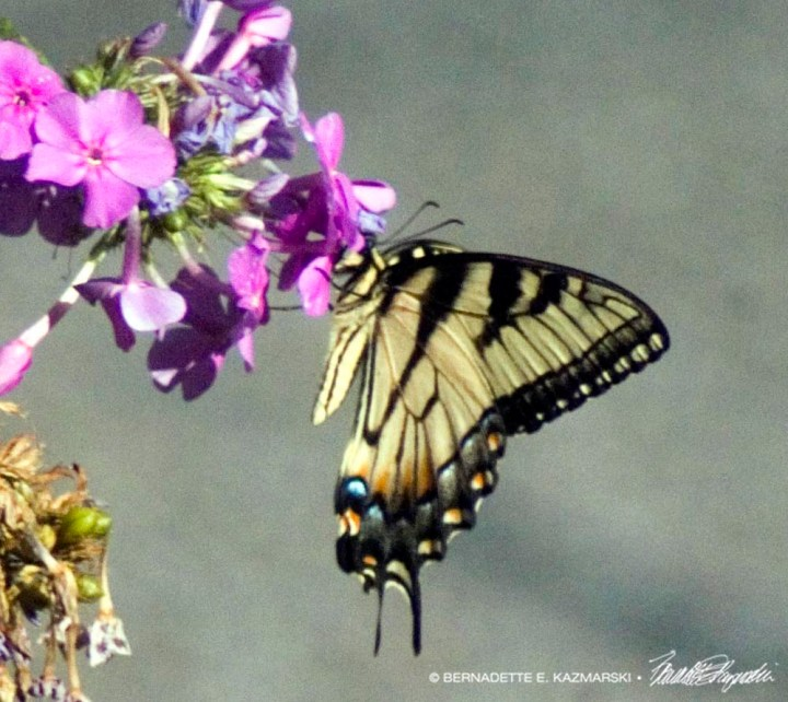 Female tiger swallowtail butterfly on phlox