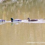four ducks on water
