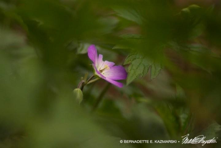 First Flower, Cranesbill Geranium