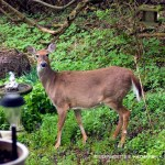 doe at bird bath