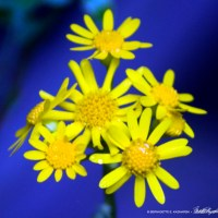 Golden Ragwort, Green and Blue