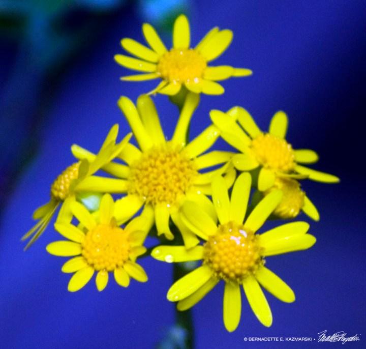 golden ragwort