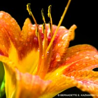 Rainy Day-Lily