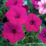 Calibrachoa Kabloom Pink