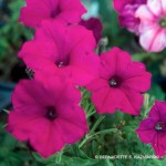 Calibrachoa Kabloom Pink