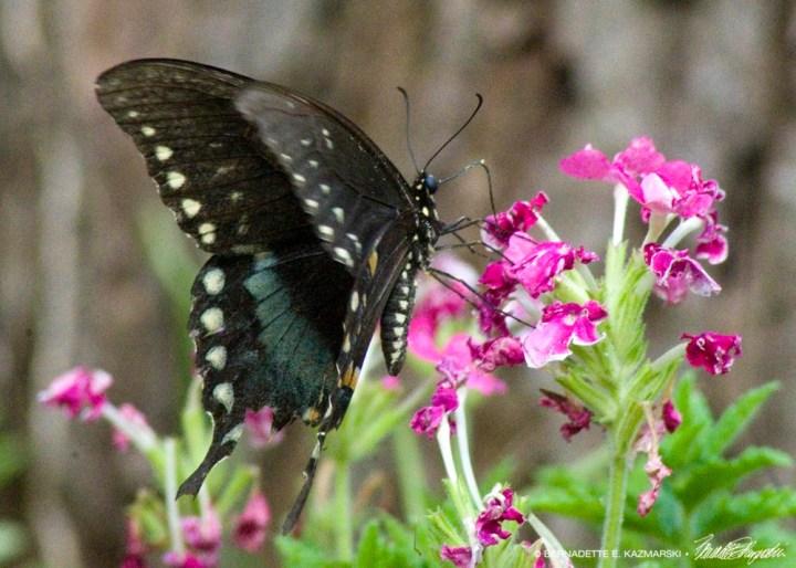 black phase tiger swallowtail