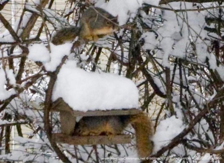squirrels on bird feeder