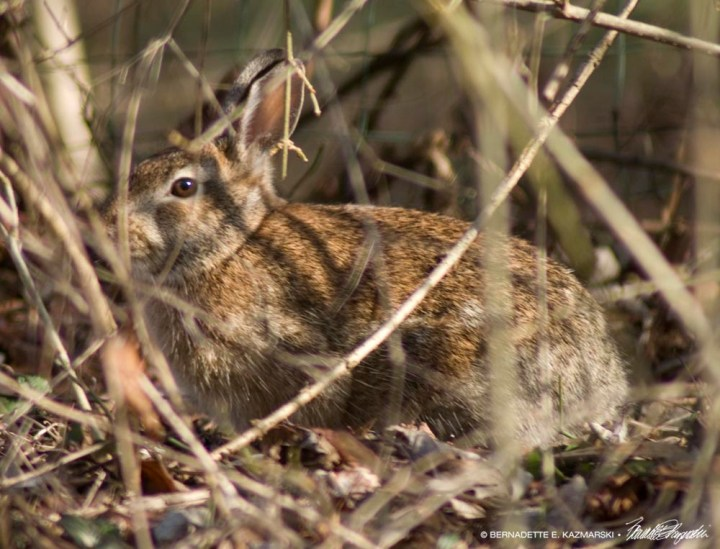 a wild cottontail in the back yard