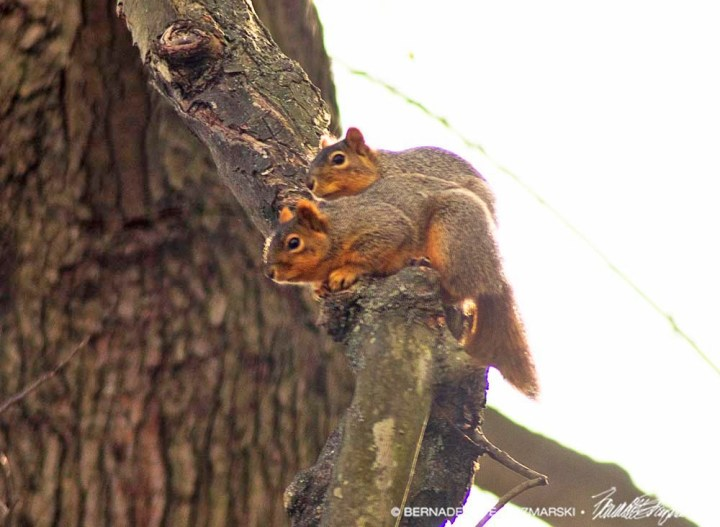 two squirrels in tree