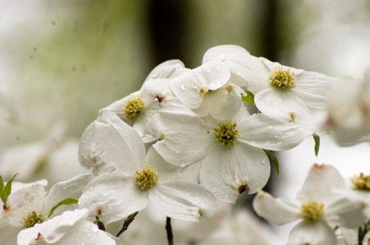 dogwood blossoms rain
