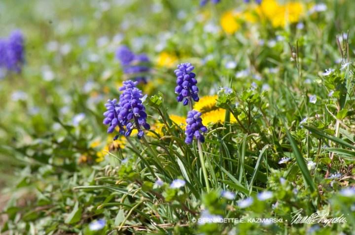 Grape hyacinth, persian speedwell, dandelion, and bright green grass.