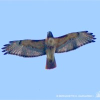 Red-tail Overhead
