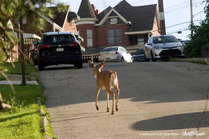 buck takes a stroll up the street.
