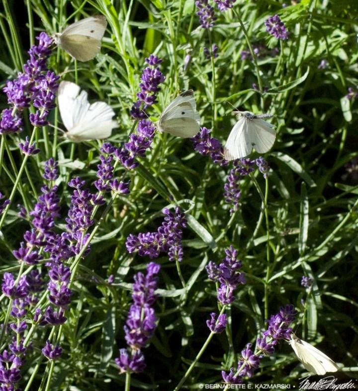 Five Butterflies in the Lavender