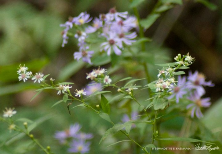 Asters in the woods