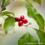 dogwood berries and bud