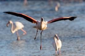 Flamant rose, Parc Ornithologique de Pont de Gau