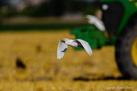 Ils volent vraiment très près des engins agricoles...