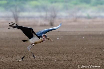 Lui aussi a besoin d'une belle longueur de piste pour décoller! (Lac Bogoria)