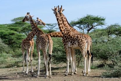 But de la sortie sur une des îles du Baringo où il y a ces 5 individus. La Girafe de Rothschild est une sous-espèce de la Girafe du Nord dont il ne reste qu'environ 650 individus...