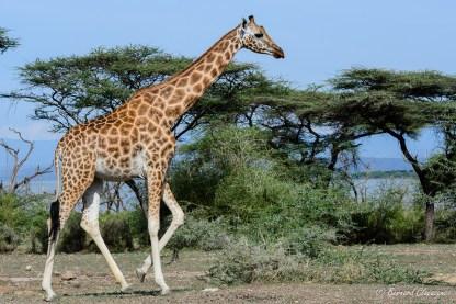 Girafe de Rothschild