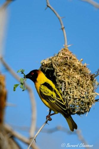 Apport de matériaux pour le nid