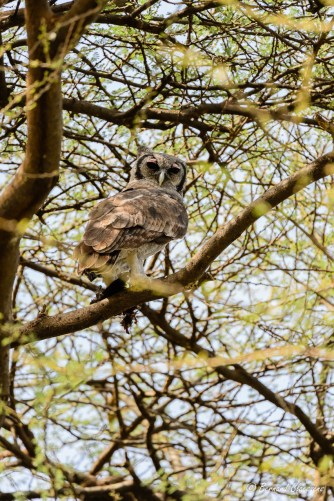 Le 2ème vu sur cette île du lac Baringo et qui venait de se poser avec sa proie, un oiseau...