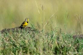 Sentinelle à gorge jaune
