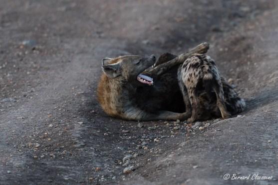 Pause biberon pour les Hyènes