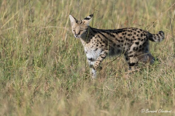 """Serval """"à l'arrêt"""""""