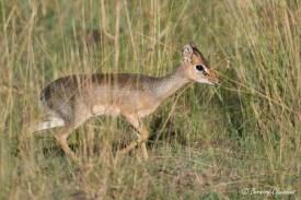 La plus petite des antilopes