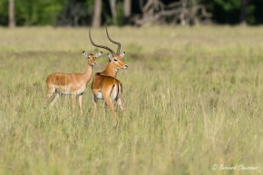 Couple d'Impalas