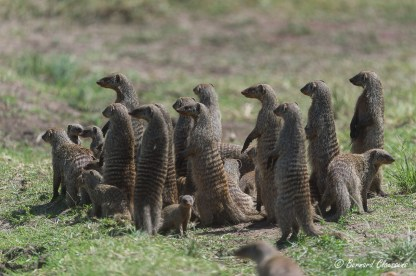Clan de Mangoustes rayées sur le qui-vive