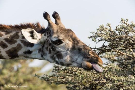 Girafe se nourrissant des feuilles minuscules d'un Acacia entre les épines...