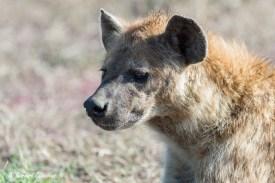 Regard de Hyène