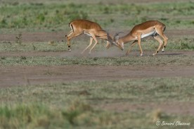 Impalas mâles