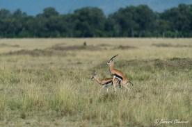 Gazelles de Thomson