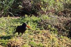 Black Oystercatcher - Living Coast Discovery Center