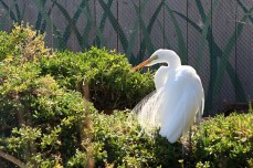 Snowy Egret - Living Coast Discovery Center