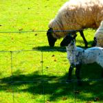 lambs outside cerdyn villa B&B