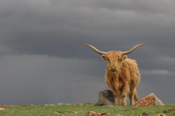 Film Retreat Cricket special bull