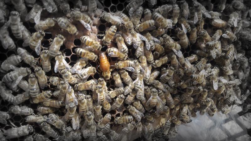 Queen Honey Bee Appalina