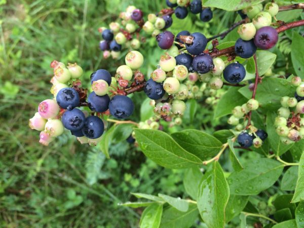 Early blueberries are still ripening and will be ready to pick in a few months