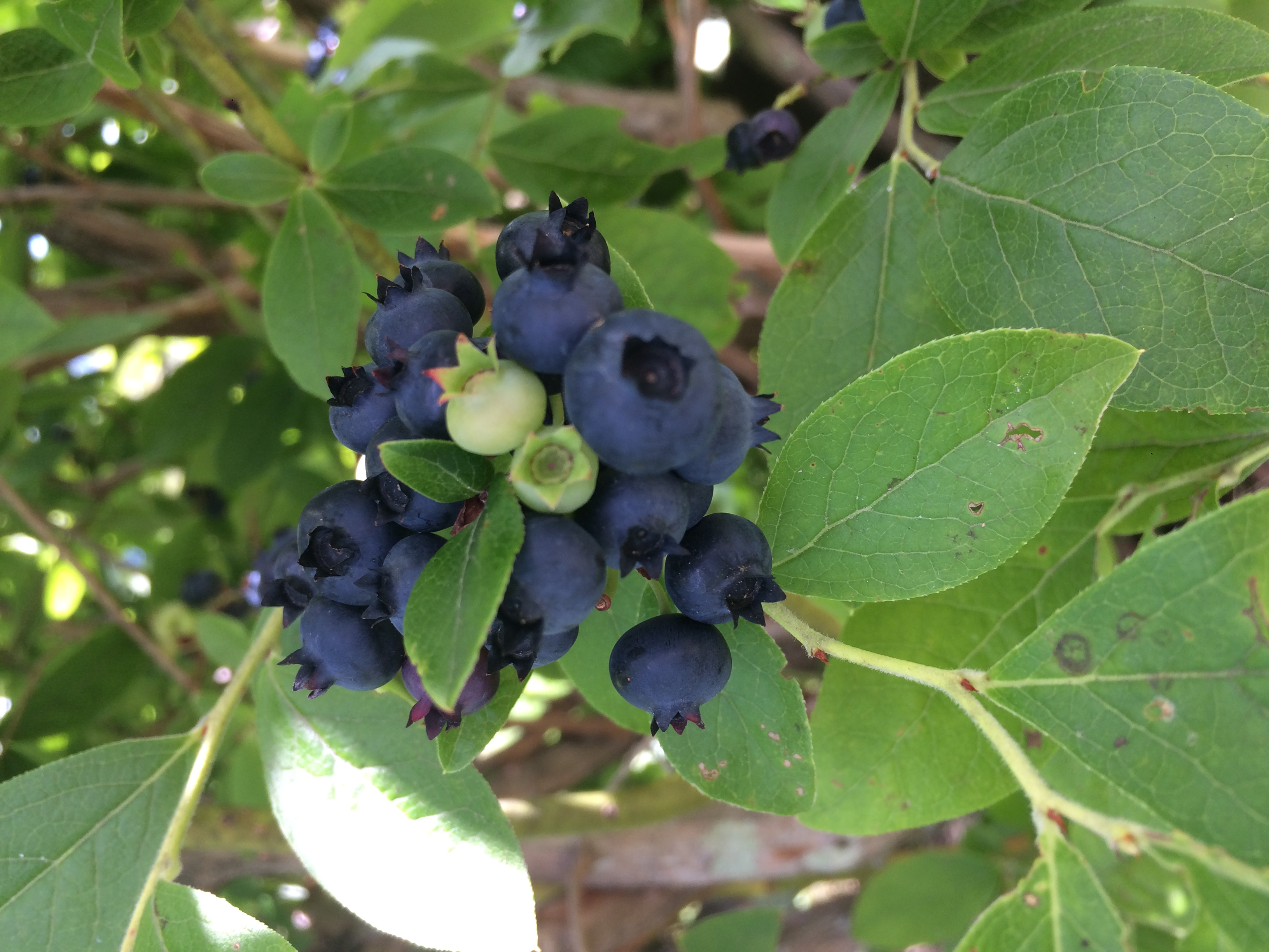 While most of our berries are small in size, some of the varieties are larger, with the same intense flavor.
