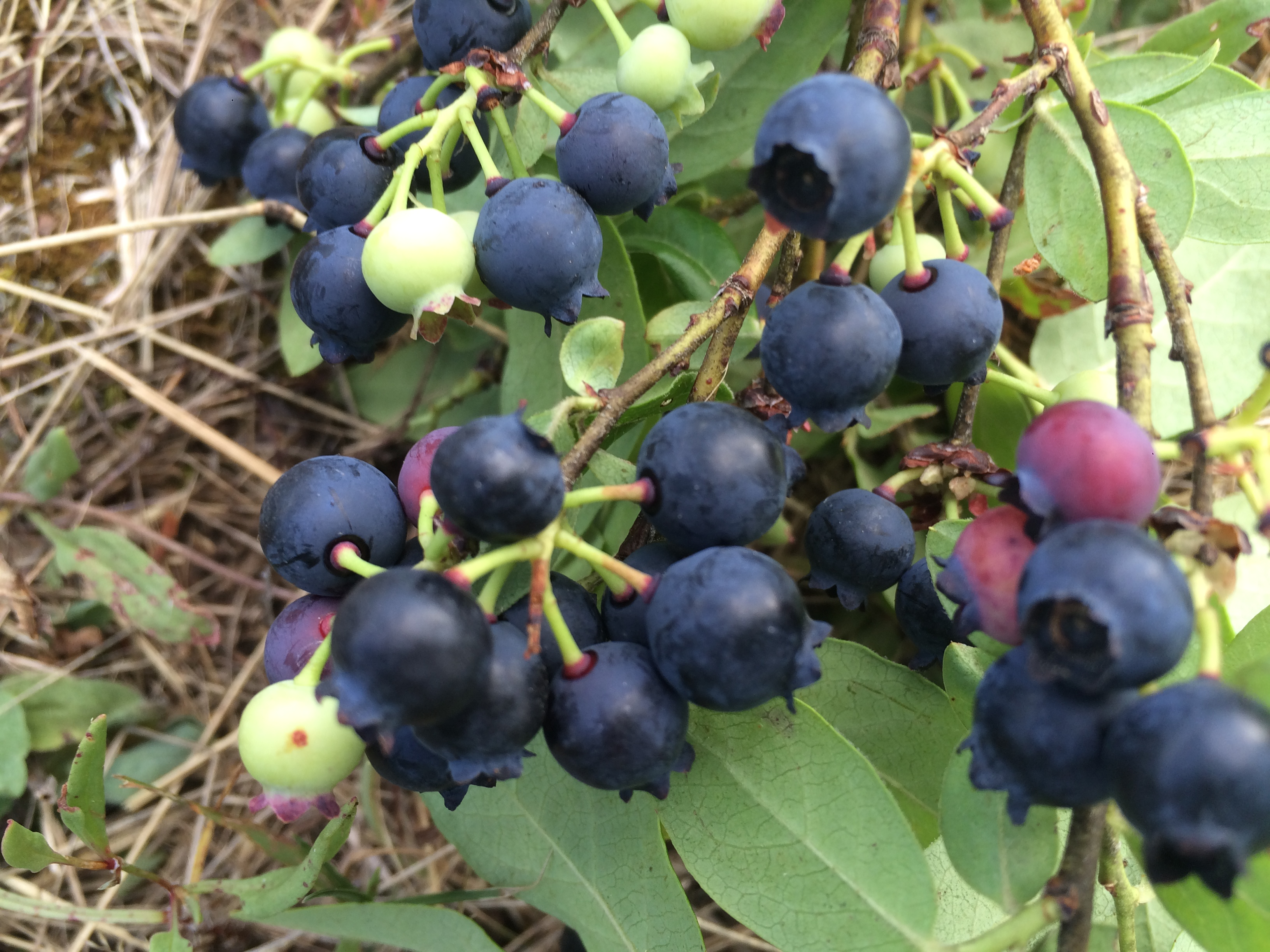 Deep blue color of the wild blueberries is an indication of their intense flavor.
