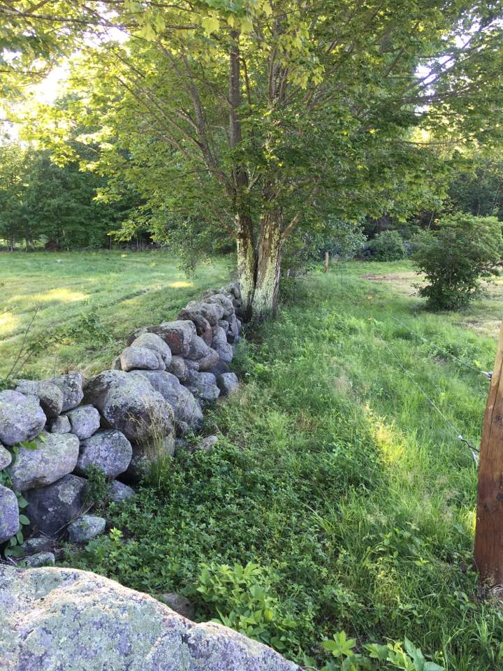 The farm has many stone walls that outline the pastures used years ago. Stone walls in the woods tell us that this farm has far more pasture originally.